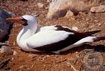 Galapagos Islands Sea Birds & cruises, Masked Booby