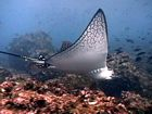 Galapagos Islands marine animals pictures, Eagle ray
