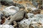 Galapagos Islands Reptiles pictures, Land iguana