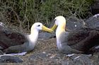 Galapagos Islands Sea Birds, Waved albatrosses