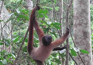 Amazon rainforest animals pictures, monkey