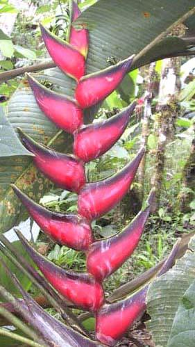 amazon rainforest plants. amazon rain forest flowers pictures heliconia rainforest plants